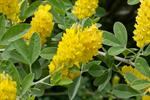 Pineapple Broom (Argyrocytisus battandieri)